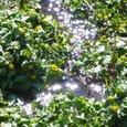 池ヶ原湿原 リュウキンカ